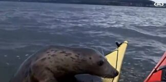 a Seals vs Kayakers