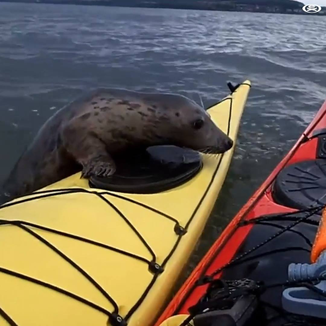 a Seals vs Kayakers 1