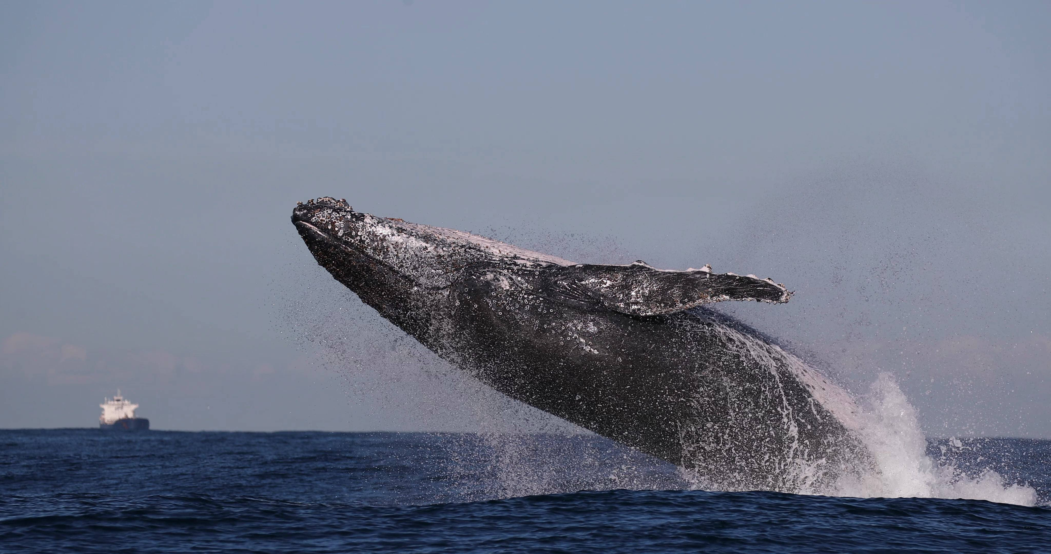 a One very active whale... 1
