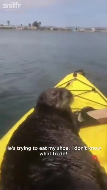 a Otter Gets On Kayak 1