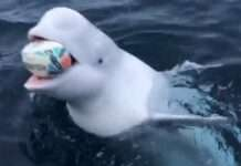 a Playing fetch with a Beluga Whale